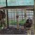 Caged Orangutans
