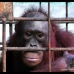 One of many caged orangutans in Borneo..