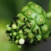 Noni Fruit! (Morinda citrifolia). Known locally as Mengkudu and used to treat menstrual cramps, bowe