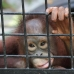 JoJo. 3 year old orphaned Orangutan. she's doubled her weight since her rescue last year. Our vision
