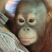 Borneo Sept.2011 Clutching Jojo for the first time - the baby orang-utan that we rescued from a wood