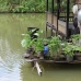 A typical Tembak set-up, they love having fish ponds around thier homes so can grow a good supply of