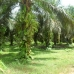 Palm oil trees along the road - some of the various plantations that can be seen enroute to Tembak.
