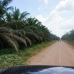 The endless palms of an oil palm plantation